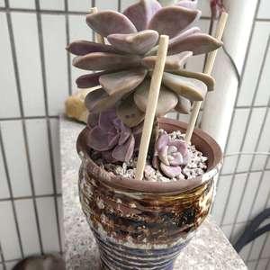 """我新添加了一棵""""紫乐(盆5.5)""""到我的""""花园"""""""