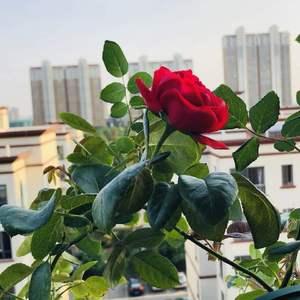 红龙也开花啦