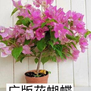 """我新添加了一棵""""三角梅-广版花蝴蝶""""到我的""""花园"""""""