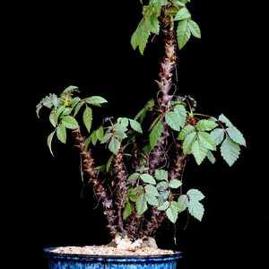 """我新添加了一棵""""Beiselia mexicana 墨西哥角榄""""到我的""""花园"""""""
