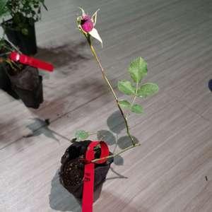 """我新添加了一棵""""花园~月季之草药""""到我的""""花园"""""""