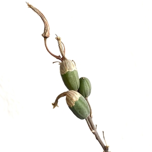 Aloe seed pods. No idea how to propogate them.