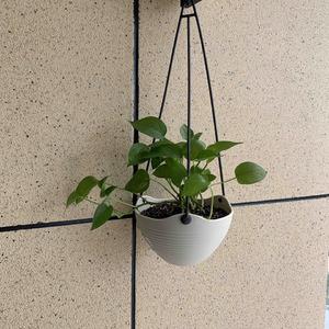 绿萝分两盆啦,一盆吊篮装着,另一盆用普通盆