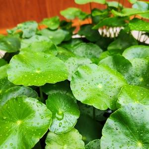水培的荒芜了 盆栽的翠绿了