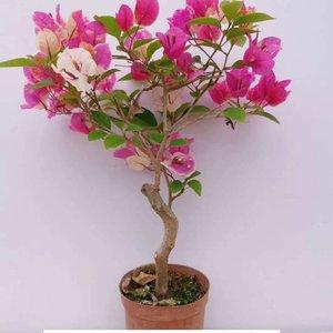 """我新添加了一棵""""三角梅-漳州红樱""""到我的""""花园"""""""