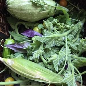 南瓜🎃结瓜,关键还可以吃南瓜藤。
