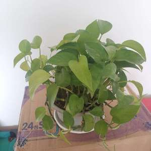 所有盆栽绿萝施硫酸亚铁。 希望改善部分叶片发黄的问题。  处于最角落最阴暗的一盆绿萝,叶片发黄严重,叶片也很小,挪到南屋,增加光照,过段时间看效果。