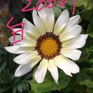 """我新添加了一棵""""2020勋章菊20001白色""""到我的""""花园"""""""