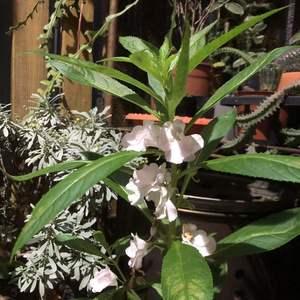 鳳仙也是好多好色,這株也是默默在角落裡開花才注意到,但鳳仙喜歡潮濕的環境,在我爸媽山上不易自播,隔著小山坡對面的鄰居卻是自播到泛濫的地步