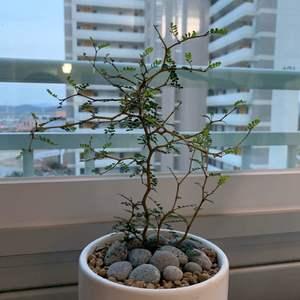"""제가 새로운 식물 """"마오리소포라""""한 그루를 나의 """"화원""""에 옴겼어요."""