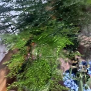文竹的叶子像绿色的雾