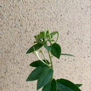"""我新添加了一棵""""香花型-金银花""""到我的""""花园"""""""
