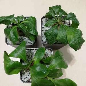 """我新添加了一棵""""Euphorbia ecklonii 鬼笑大戟""""到我的""""花园"""""""