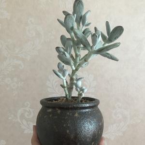 乒乓圣诞树 (11.9)多肉植物