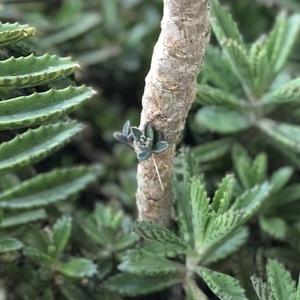 Bryophyllum Delagoense (Mother of Millions)