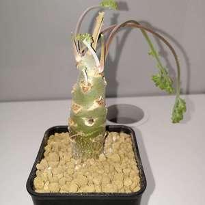 """我新添加了一棵""""Pelargonium carnosum 枯野洋葵""""到我的""""花园"""""""
