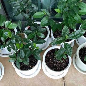 第二遍根腐灵还没浇的植物:黄角兰、蜡梅、金银花、昙花、茉莉、佛珠吊兰