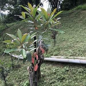 杜英的紅葉子好美,左下方種的也是會紅葉的田代氏石斑木,巧合的很有趣