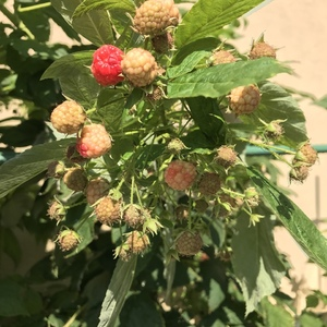 越是到秋天了,树莓结得越好……可能是夏天露台太热吧,来年给遮荫看看夏果怎么样🤣