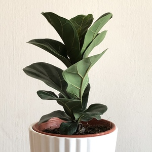 Added a new small Ficus Lyrata for the work place. C&O RM15.50