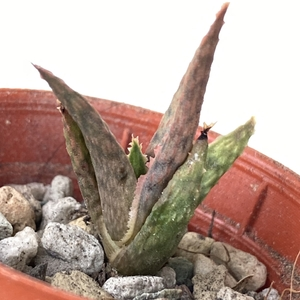 Aloe Pink Blush babies potted