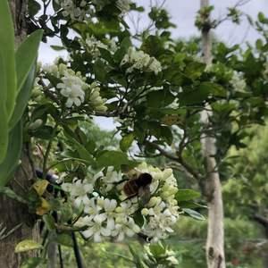爆開的七里香吸引了好多昆蟲,蝴蝶、蜜蜂、蛾全來了,靠近還發現蜜蜂嗡嗡響的好大聲!