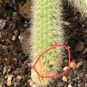 20-9-17 被压断的那里居然长芽了!