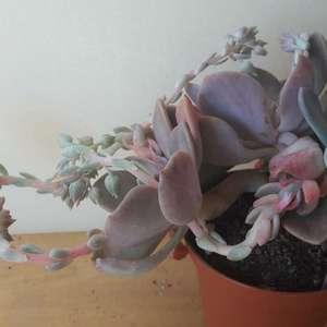 Cremneria Mutabilis