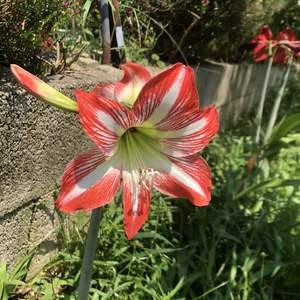 孤挺花真是每年都會開花的乖寶寶