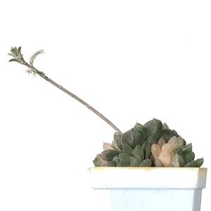 Flowering Hawothia
