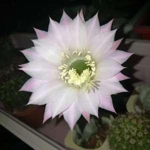 晚上想趁我不注意开花,被我拍到了(*^▽^)/★*☆原来是粉色的,花的直径不算大,跟球差不多大