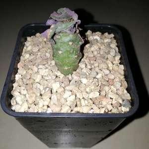 """我新添加了一棵""""Euphorbia pachypodioides 瓶干麒麟""""到我的""""花园"""""""