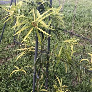 桃實百日青為台灣特有種,零星分布台灣中部低海拔闊葉林中,多於日月潭附近可見。因生育地遭破壞及族群遭挖採,數量持續下降,經評估列屬「瀕臨絕滅」級稀有植物。 種了一段時間發現在這適應的不錯,但種了以後才發現是雌雄異株,應該多種幾棵阿。