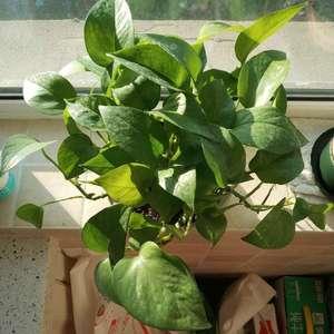 把一盆比较单薄的但是没有什么黄叶的绿萝挪到北阳台,增加光照。