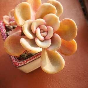 可爱玫瑰,美尻,女美月