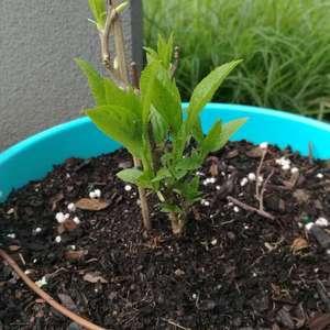 奇异莓kiwi berry