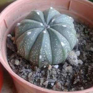 I Nuevo agregado un Astrophytum Asterias en mi jardín