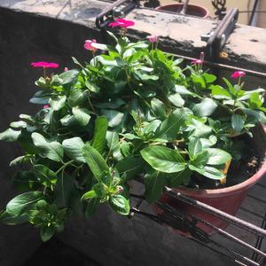 昨天施了肥(磷酸一氫鉀) 也不知道這到底是不是對植物好 在網上看的 沒買到二氫鉀,少一氫不知道效果如何 但肉眼可見是精神起來 還是純粹是缺水 花店老闆說看到葉面捲曲再澆即可