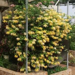 """我新添加了一棵""""金银花""""到我的""""花园"""""""