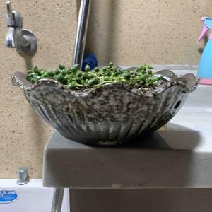 给佛珠吊兰换了个大盆,浇了根腐灵和生根粉兑的定根水
