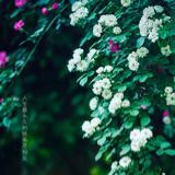 小松树快乐