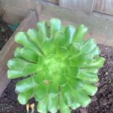 Succulentsister