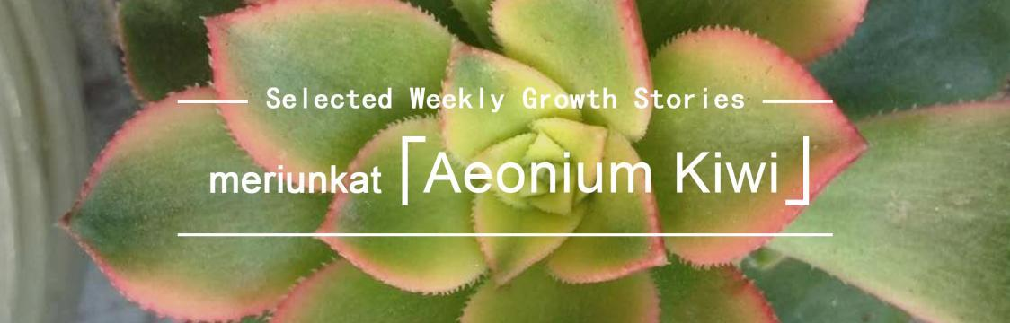 Aeonium Kiwi